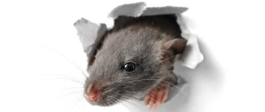 Drugcom: Rattengift in Legal Highs